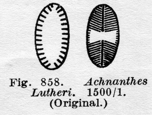 Achnanthes lutheri orig illus