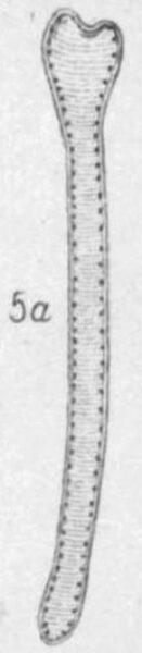 Actinella punctata orig illus 1