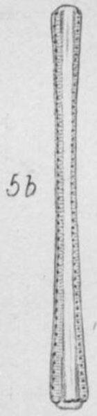 Actinella punctata orig illus 2