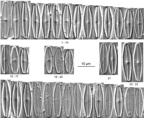 Achnanthidium druarti orig illus