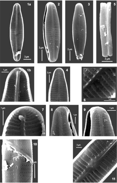 Achnanthidium druartii orig illus 2