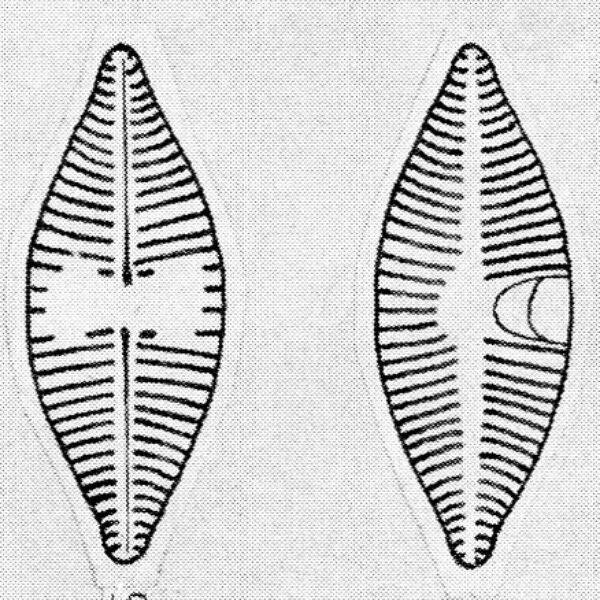 Achnanthes lanceolatoides orig illus
