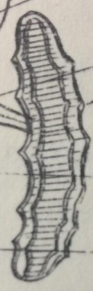 Amphicampa eruca orig illus