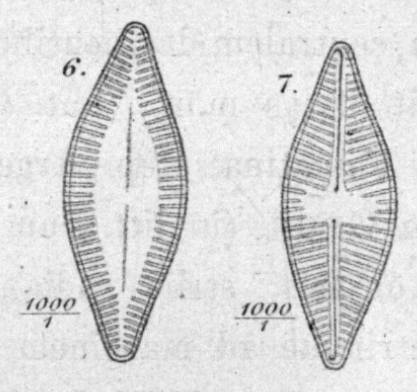 Achnanthes holstii orig illus