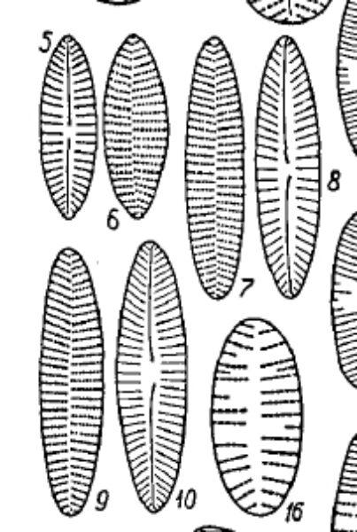 Achnanthes kraeuselii orig illus