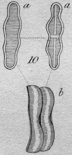 Achnanthes coarctata orig illus