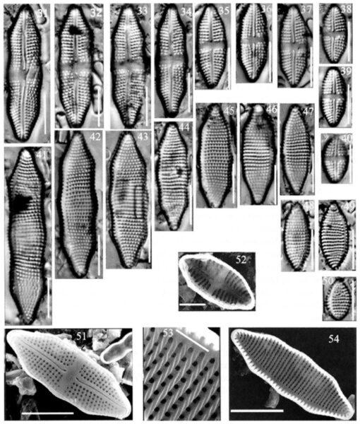 Achnanthes felinophilia orig illus
