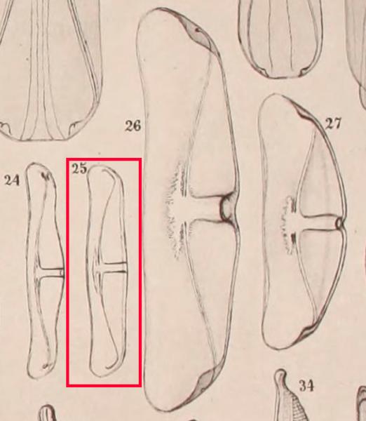 Amphora delphinea minor orig illus