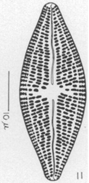 Aneumastus carolinianus orig illus