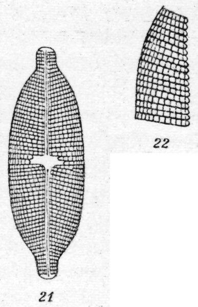 Navicula pseudotuscula orig illus