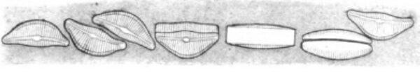 Encyonema auerswaldii orig illus