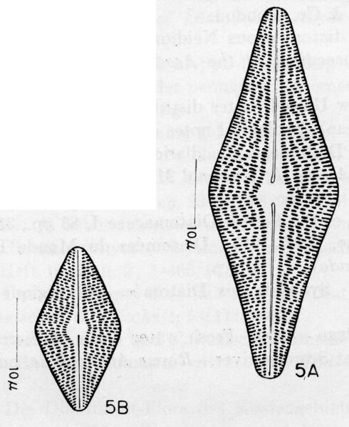 Anomoeoneis follis var. hannae orig illus