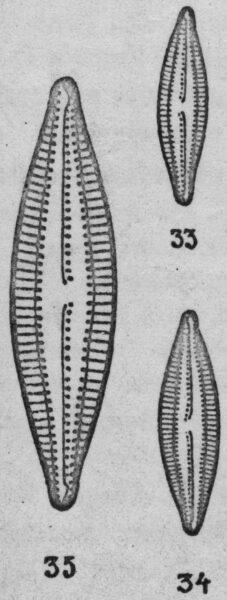 Navicula circumtexta orig illus