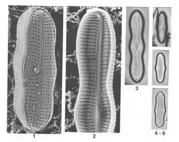 Boreozonacola hustedtii orig illus