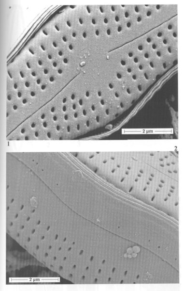 Boreozonacola hustedtii orig illus 3