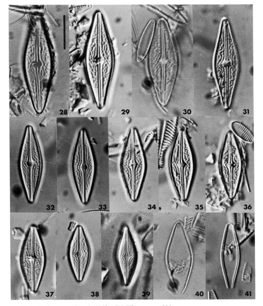 Brachysira arctoborealis orig illus
