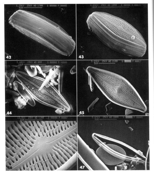 Brachysira arctoborealis orig illus 2