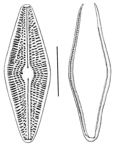Brachysira arctoborealis orig illus 3
