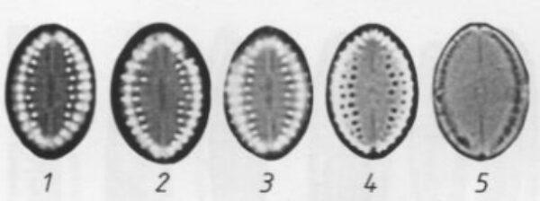 Cocconeis pseudothumensis orig illus