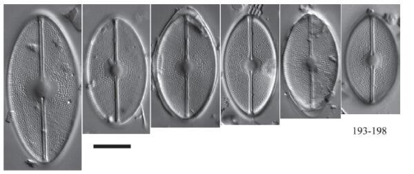 Cavinula maculata orig illus