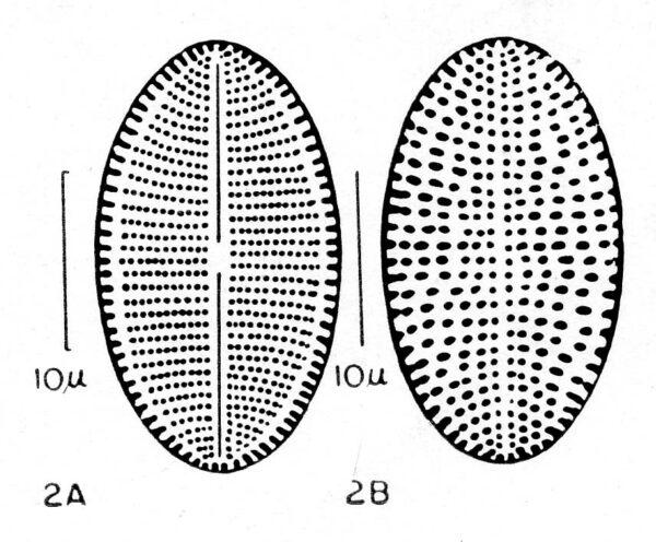 Cocconeis fluviatilis orig illus