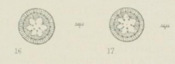 Cyclotella comensis orig illus