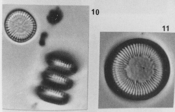 Cyclotella delicatula orig illus