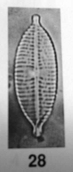 Navicula citrus orig illus
