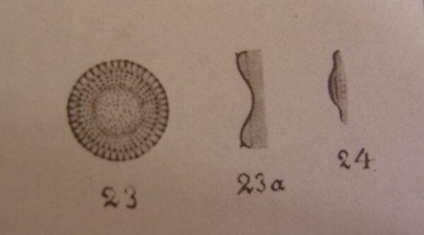 Cyclotella dubia orig illus