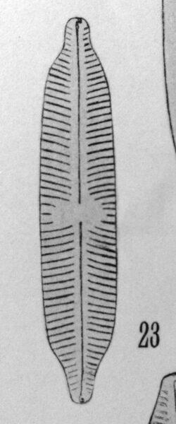 Cymbella hybrida orig illus