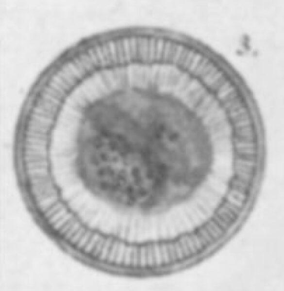 Cyclotella michiganiana orig illus