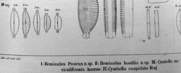 Cymbella naviculiformis orig illus