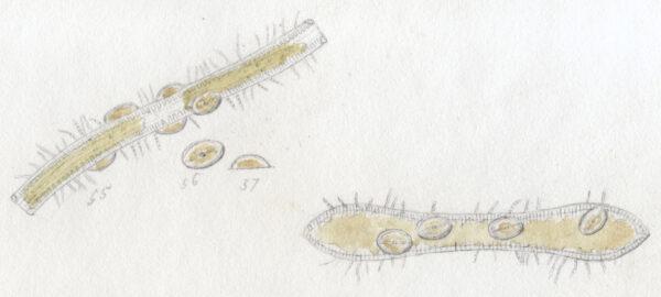 Cocconeis pediculus orig illus