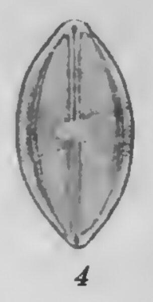 Caloneis Ladogensis Var Densestriata Original Illus