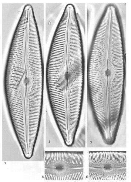 Cymbopleura crassipunctata orig illus