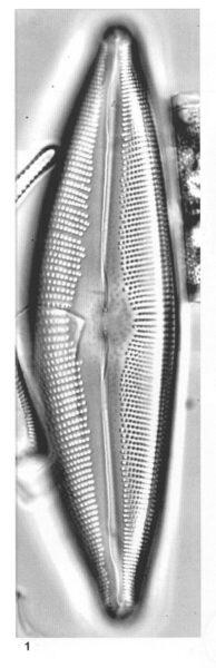 Cymbopleura crassipunctata orig illus 3