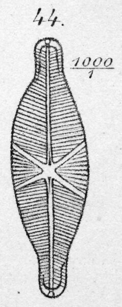 Schizostauron crucicula orig illus