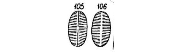 Cocconeis Microscop Orig Ill A