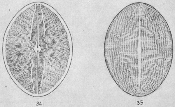 Cymbopleura angustata LM5