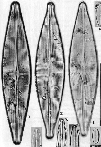 Craticula acidoclinata orig illus