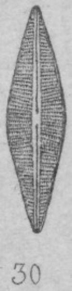 Navicula cuspidata var. halophila orig illus