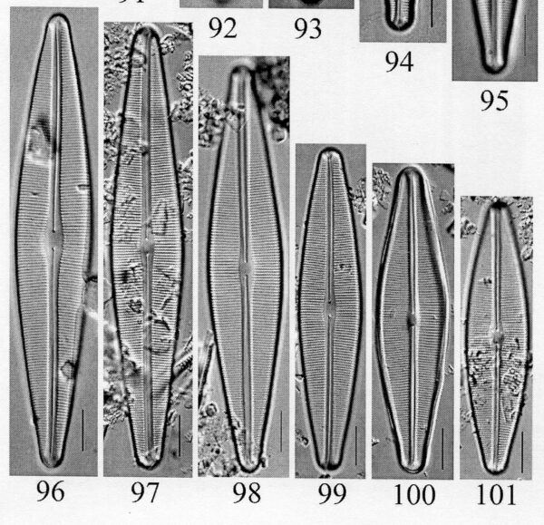Craticula sardiniana orig illus