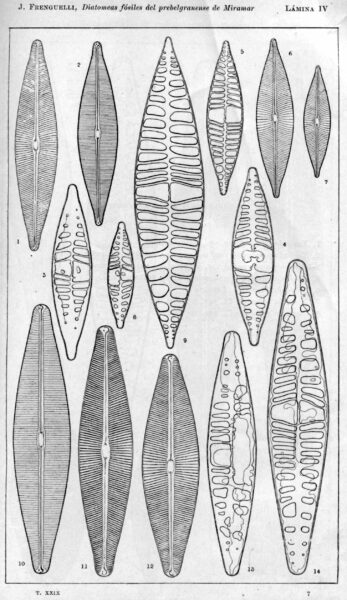 Navicula pampeana orig illus 2