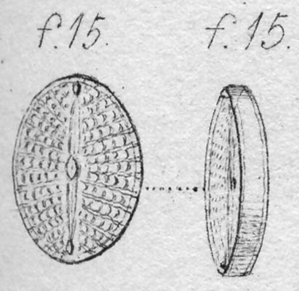 Navicula scutelloides orig illus