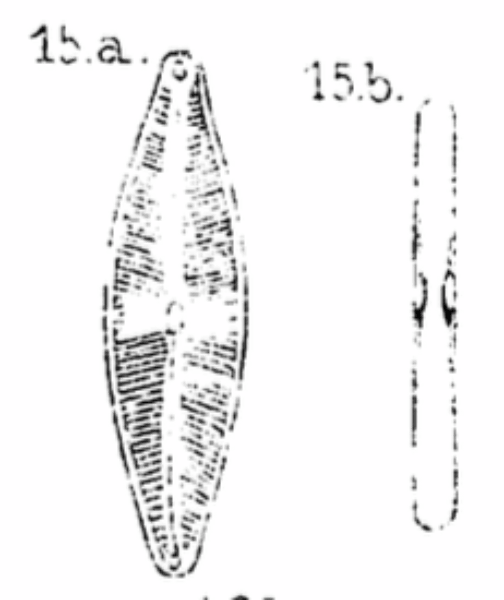 Cstauroneiformis Orig Draw