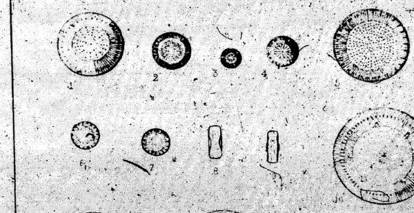 Cyclotella comta var. radiosa orig illus