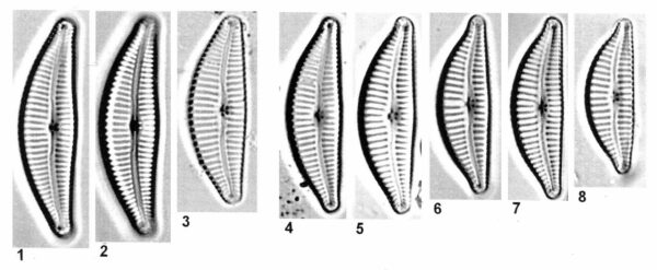 Cymbella affiniformis orig desc 2