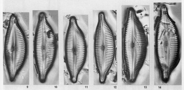 Cymbella leptoceros var. rostrata orig illus