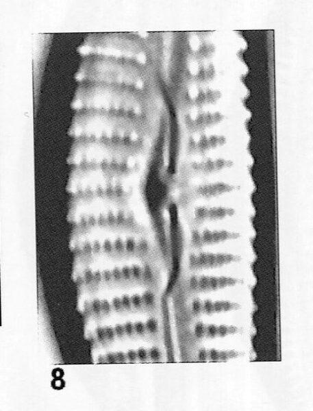 Cymbella hantzschiana orig illus