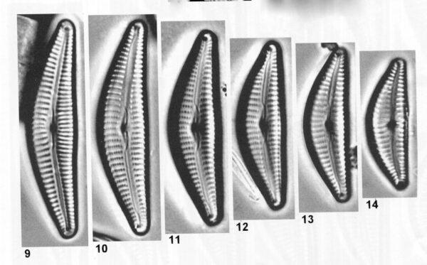 Cymbella hantzschiana orig illus 2